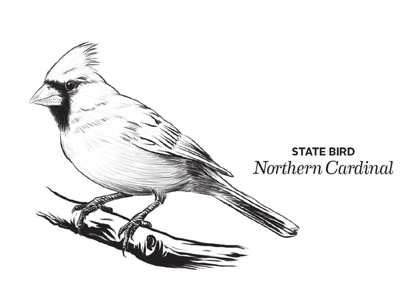 Cardinal etching cardinal bird illustration