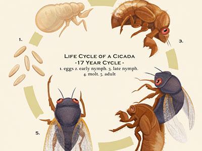 Life Cycle of a Cicada - Illustration illustration bug insect locust cicada