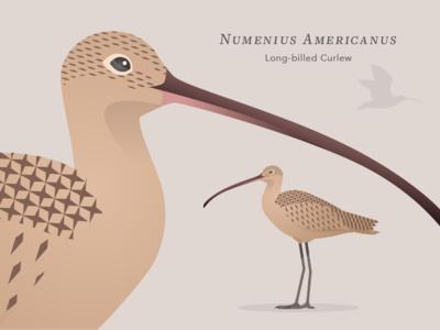 Long-billed Curlew pattern vector illustration bird