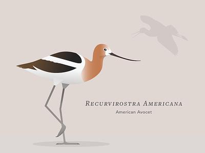 American Avocet bay vector illustration bird
