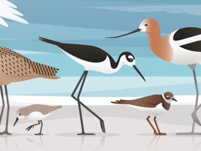 Birds Of The Bay feathers bay vector illustration bird