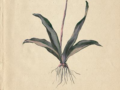 tulip roots! botanicals art ui floral precreate graphicdesign illustration graphic design aquarell botanical art botanical ancient flowers flower roots