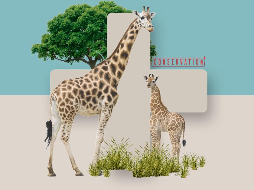 Conservation+ Brand Exploration #6 charity wildlife zoo brand design branding brand