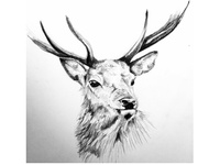 Stag pencil drawing