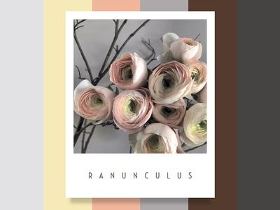 Colour Inspiration #1 design inspiration ranunculus palette floral flowers colour color