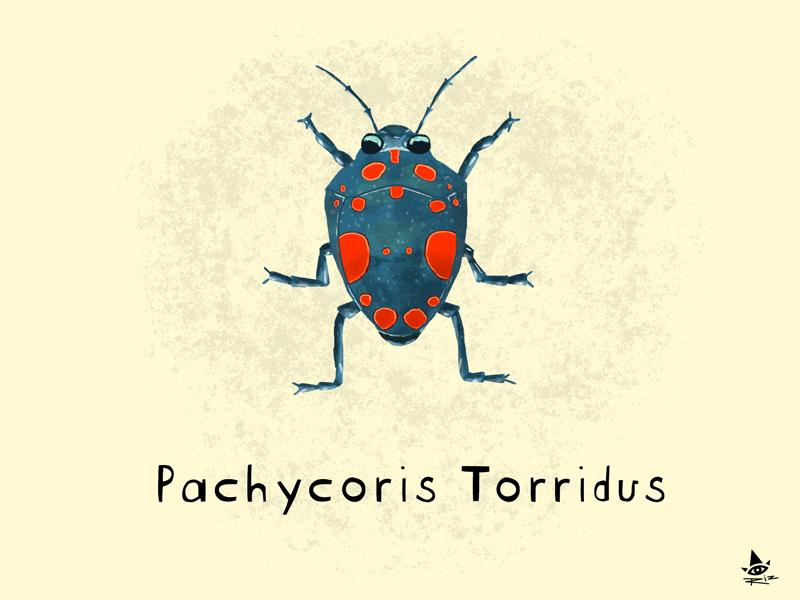 Day 24 - Pachycoris Torridus nature illustration jewel bug pachycoris torridus insect bug