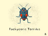 Day 24 - Pachycoris Torridus