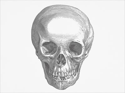 Cranium ... lineart vector illustration skull illustration vector graphic vector