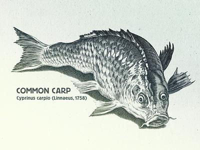 Carp ... carp fish vector graphic vector illustration vectorart