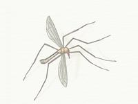 Mosquito ...