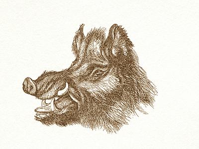 Wild Boar ... wild boar drawing vector graphic illustration