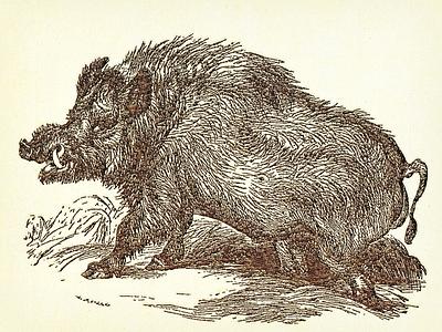 Boar (Wild Hog) ... wild hog boar vector graphic illustration