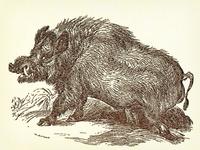 Boar (Wild Hog) ...