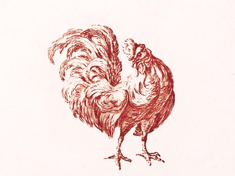 Cockerel ... rooster cockerel illustratin