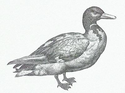 Mallard ... duck mallard illustration vector graphic vector art
