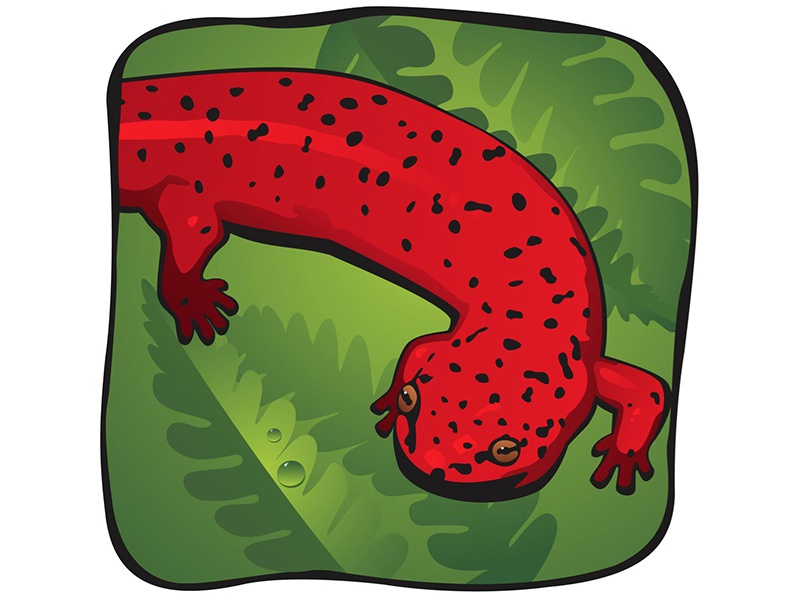 Northern Red Salamander animal lizard salamander northern red salamander