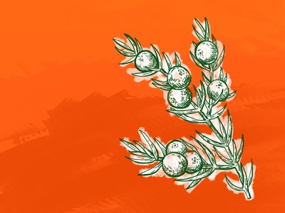 Juniper the100dayproject plant illustration digital art 100 days orange green plant gin juniper procreate sketching design