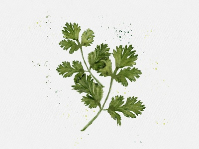 Coriander watercolor painting illustration