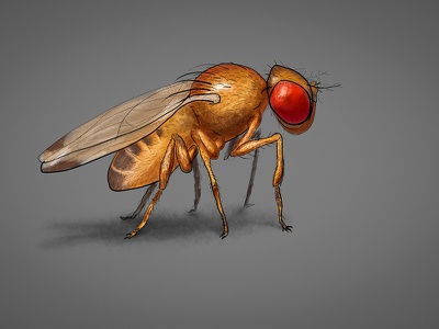 Little one illustration digital painting painting diptera drosophila melanogaster sketchbook wacom sraw drawing sketch