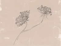 Queen Anne's Lace Illustration