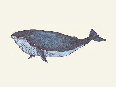Vintage Whale Illustration | Hand Drawn Graphics hand drawn whale sealife underwater ocean life marine life animal drawing background graphic element ocean sea artwork illustrator design graphic design freebie vector illustration vintage antique retro