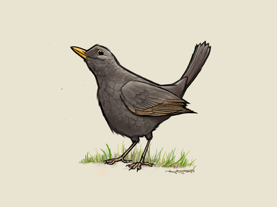 Blackbird uk british ipad procreate illustration birds bird blackbird