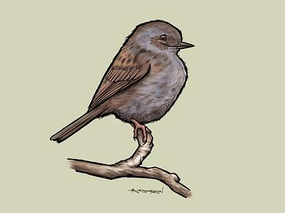 Dunnock illustration digitalart ipad procreate birds bird dunnock