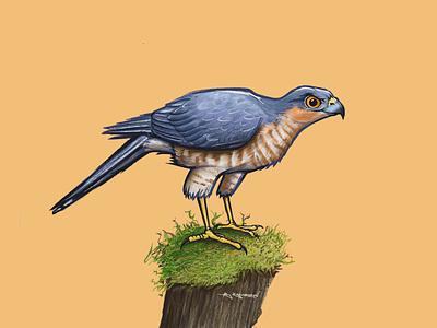 Sparrowhawk digital art procreate raptor bird illustration hawk sparrowhawk