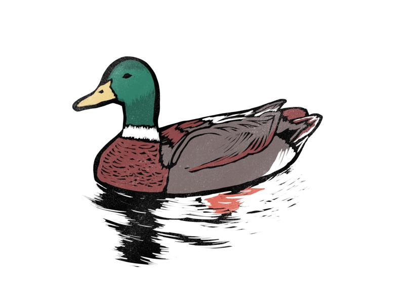 Duck (Mallard) mallard duck block print linocut woodblock