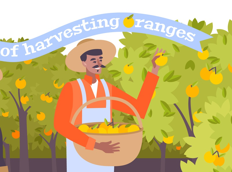 Harvesting of oranges background citruses oranges harvesting flat vector illustration