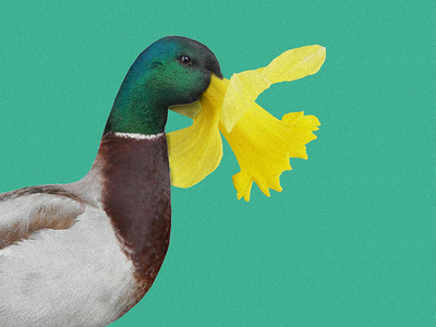 Pato Narciso costa rica tropical color yellow collage green duck flower