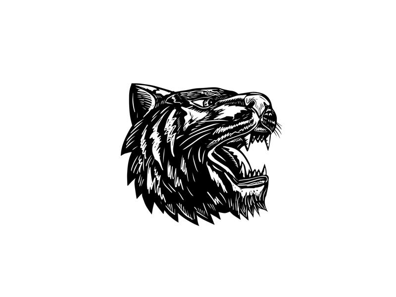 Tiger Growling Scratchboard retro woodcut head big cat feline growling scraperboard tiger scratchboard