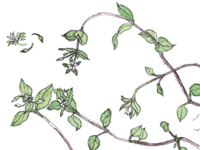 Chickweed Botanical Illustration