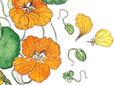 Nasturium Botanical Illustration culinary arts foraging food cooking recipes illustration color drawing watercolor botanical illustration