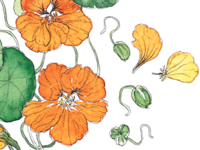 Nasturium Botanical Illustration