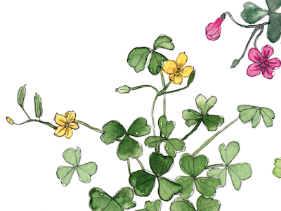 Wood Sorrel Botanical Illustration