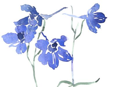 Watercolor study of Delphinium floral botanical purple flowers blue flowers larkspur delphinium