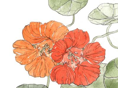 Nasturtium detail watercolor orange flowers pencil hand drawn case for making nasturtium illustration botanical