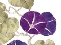 Morning glory botanical illustration