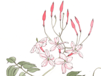 Pink Jasmine botanical illustration