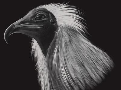 Egyptian Vulture wacom cintiq digital art wildlife