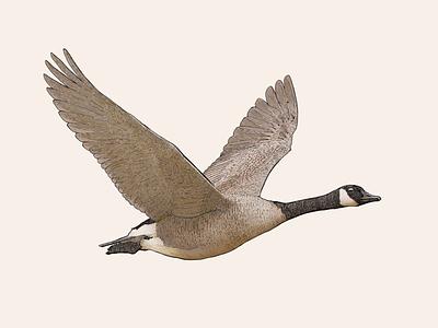 Canadian canada goose