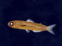 Lanternfish /  Symbolophorus barnardi.