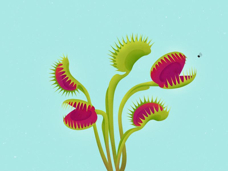 Carnivorous Plants: Dionaea Muscipula illustration plant carnivorous
