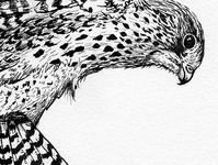 Kestrel Ink Drawing Detail Shot