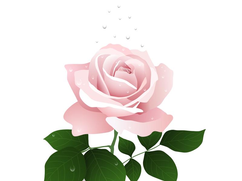 Water on a rose rose rose and water vector drawing vector art affinitydesigner illustration affinity designer