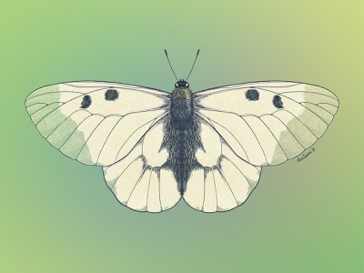 Clouded Apollo (Parnassius mnemosyne) moth insects procreate entomology butterfly illustration