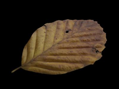 CGI autumn leaf texture (beech)