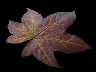 CGI autumn leaf texture (amber tree #1)