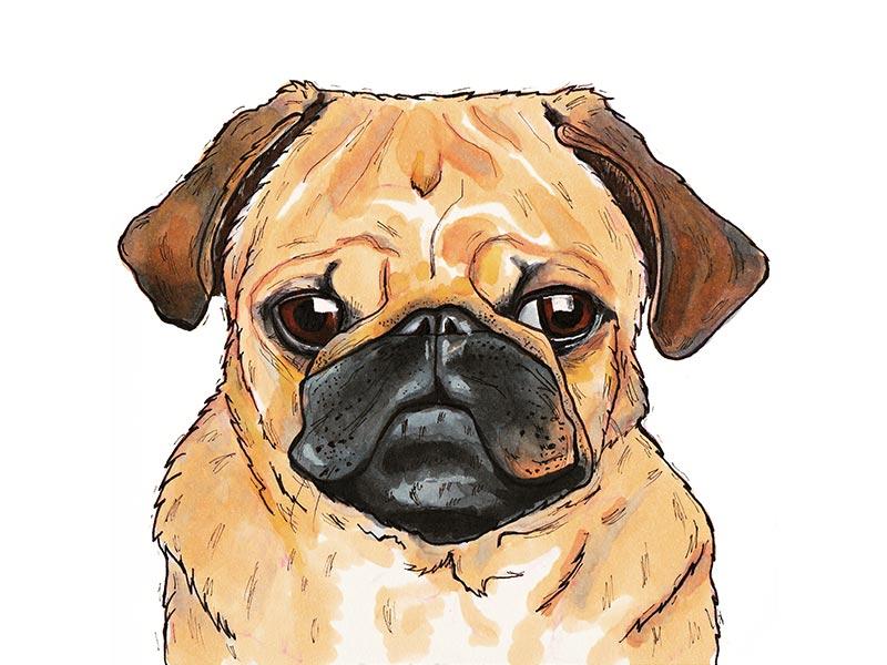 Pug drawing marker pug dog illustration